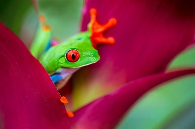 red eyed tree frog from the tropical jungle of Costa RIca, Nicaragua and Panama, a macro of an exotic rain forest animal